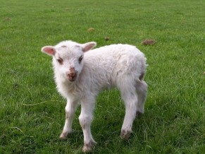 little-lamb-1406384-640x480